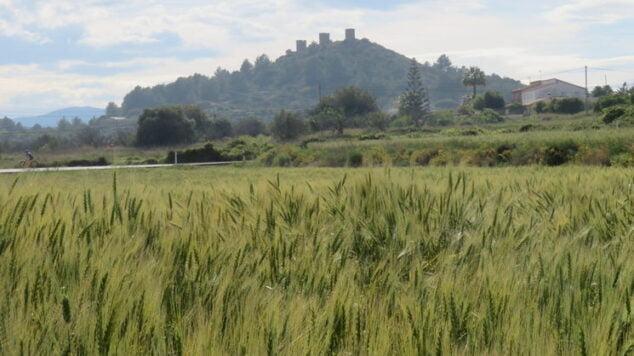 Imagen: Campos sembrados de trigo - Marina Alta